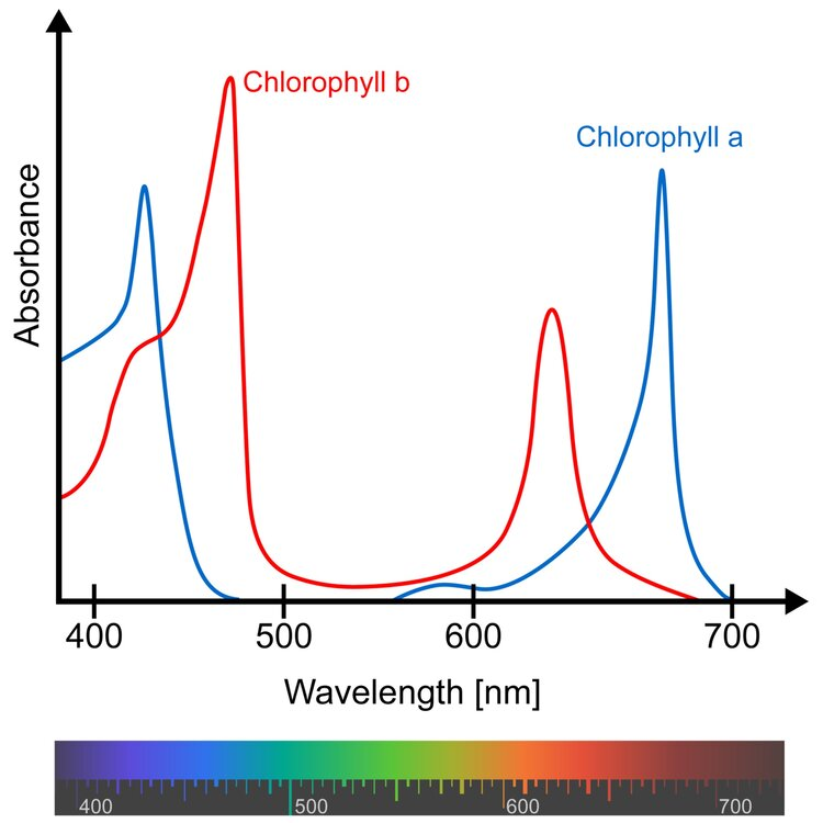 Chlorophyll a and b absorb most efficiently in the blue and red areas of the spectrum so some grow light manufacturers decided to ONLY make LEDs in those colors. Problem: green light is still used by plants even if it's not the most efficient driver of photosynthesis for chlorophyll - plants growing under a forest canopy use LOTS of green light.  Source:  https://en.wikipedia.org/wiki/Chlorophyll