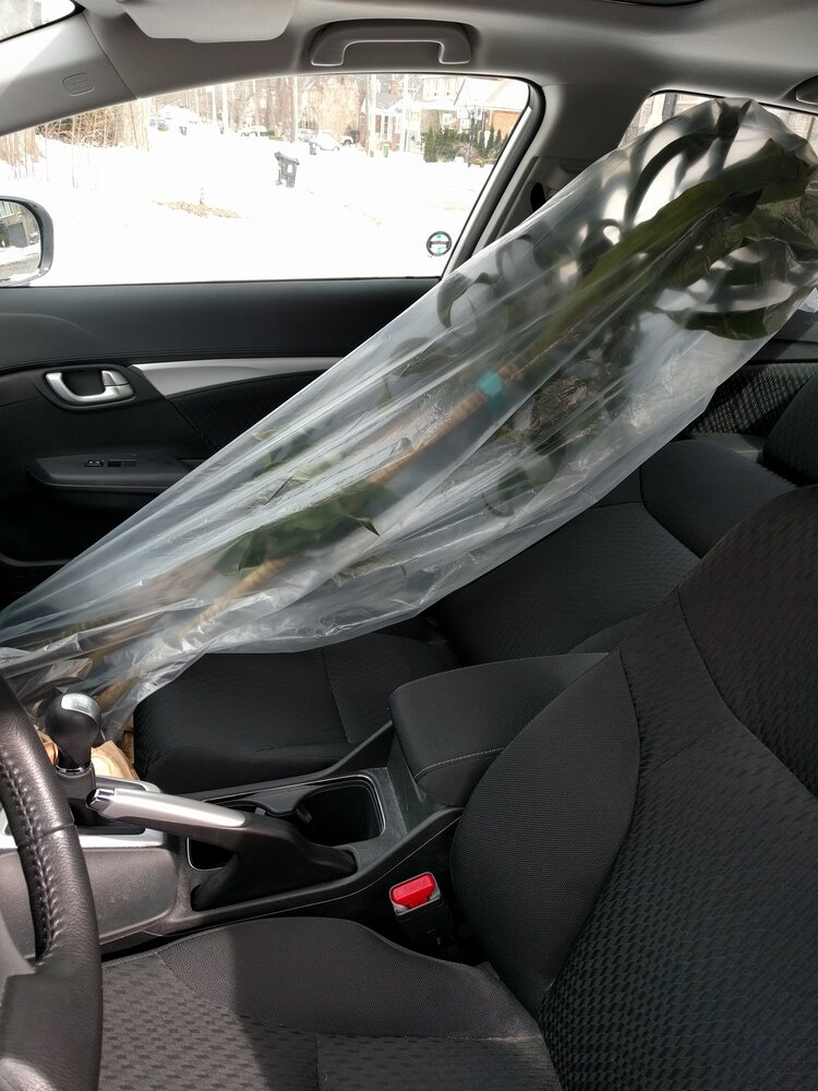 A tall Dracaena gets wrapped in plastic to prevent soil from spilling onto the floor of the car.