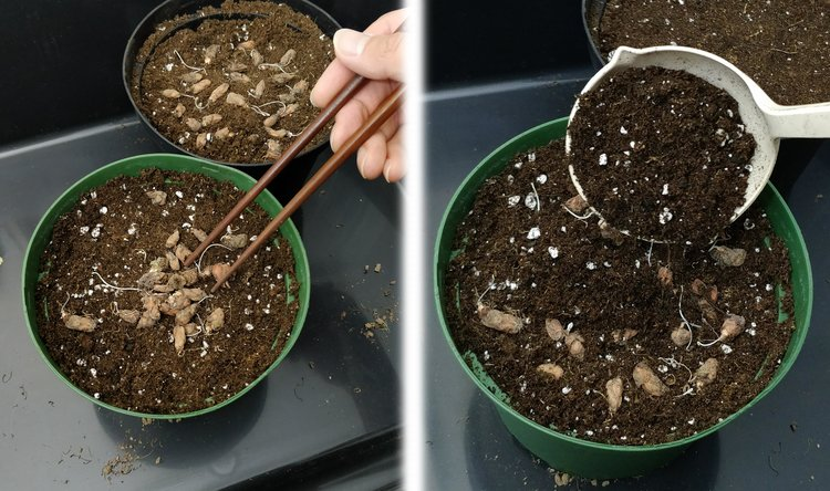 Oxalis bulbs can be planted somewhat shallow - I've seen them work just fine even with a bit of the bulb peeking up above the surface. I used chopsticks to arrange the bulbs as evenly spaced as possible then covered them with thin layer of soil.