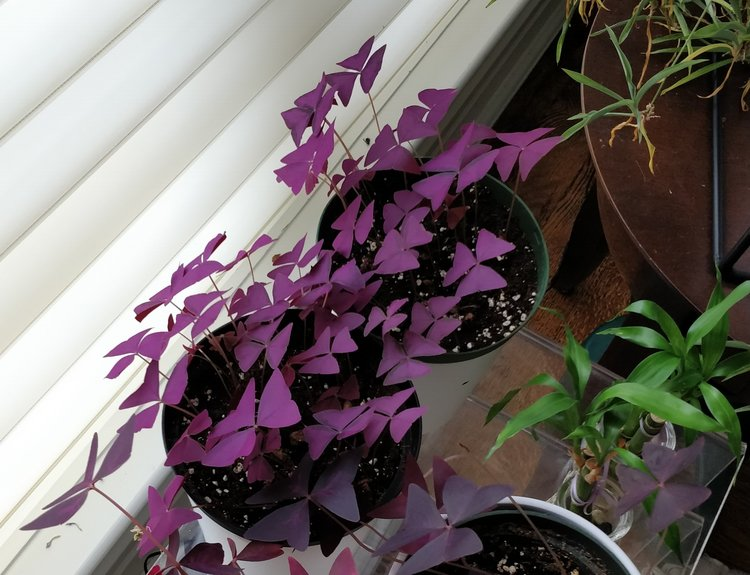 November 30, 2017 - Purple oxalis are still wonderful so I'm really not complaining about having more. Perhaps I will look for other sellers or keep checking my local suppliers...