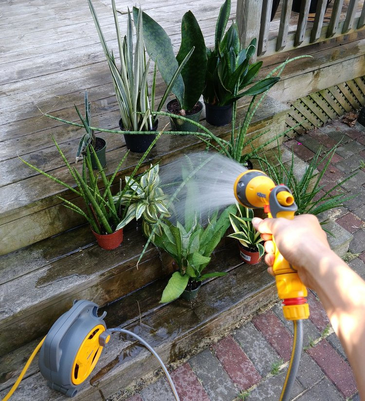 """This is how happy snake plants like to be watered: a thorough soaking followed by an hour or so of sitting where they can see as much of the sky as possible - this is the ultimate """"bright indirect light"""". I'm using the 'Gentle Shower' sprayer setting – there are a total of 5 settings."""